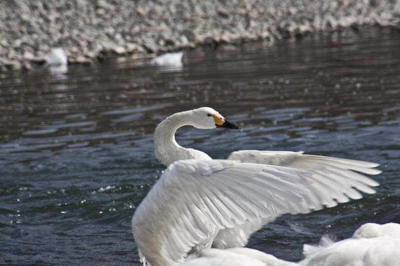 犀川:白鳥_2043.jpg