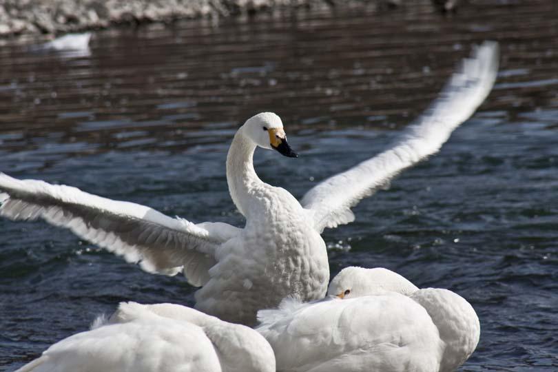 犀川:白鳥_2050.jpg